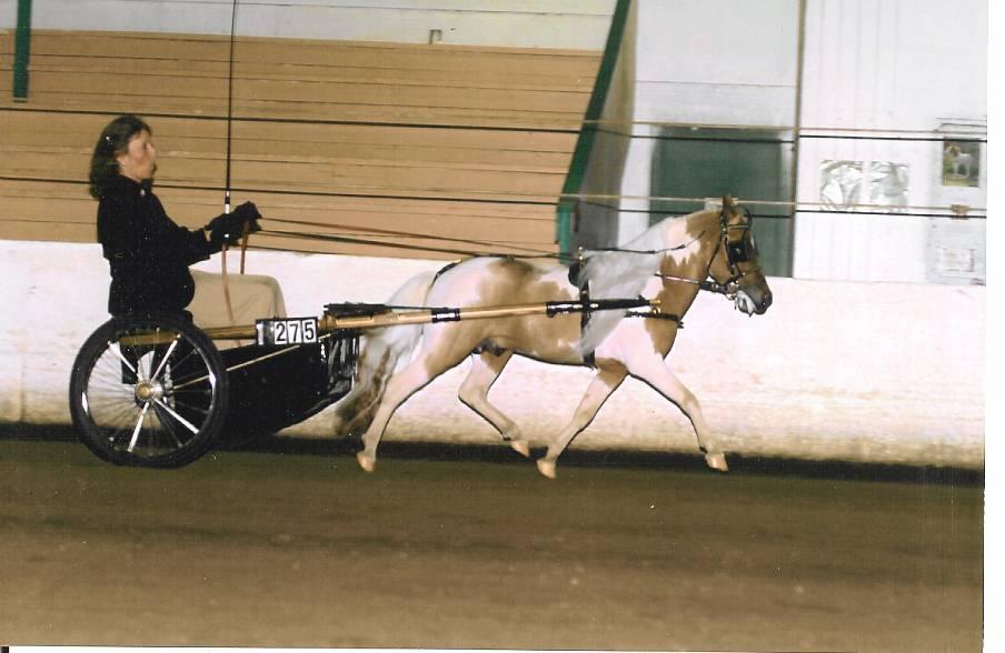 Pinto Horse Pinto Horse Assn Miniature